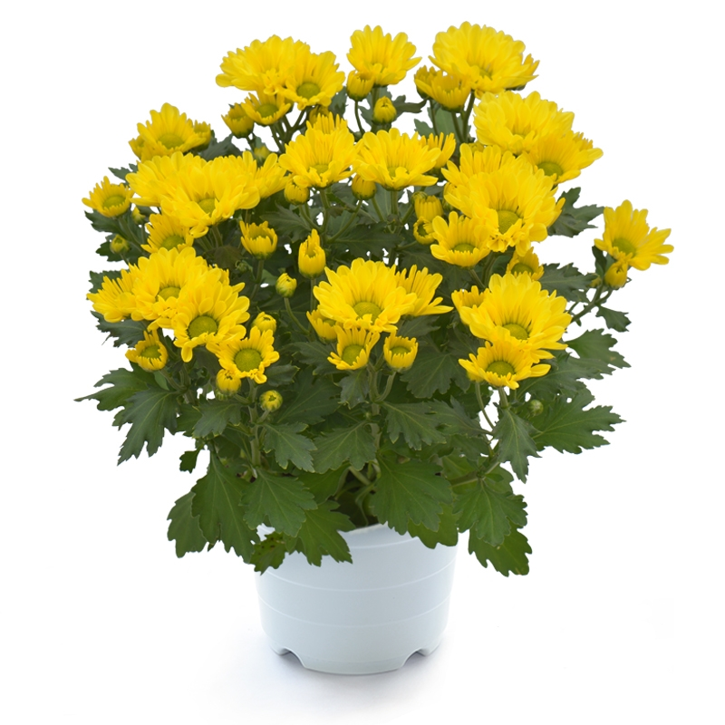 Chậu Hoa Cúc lớn Breeze Yellow Pot Chrysant Big Mix